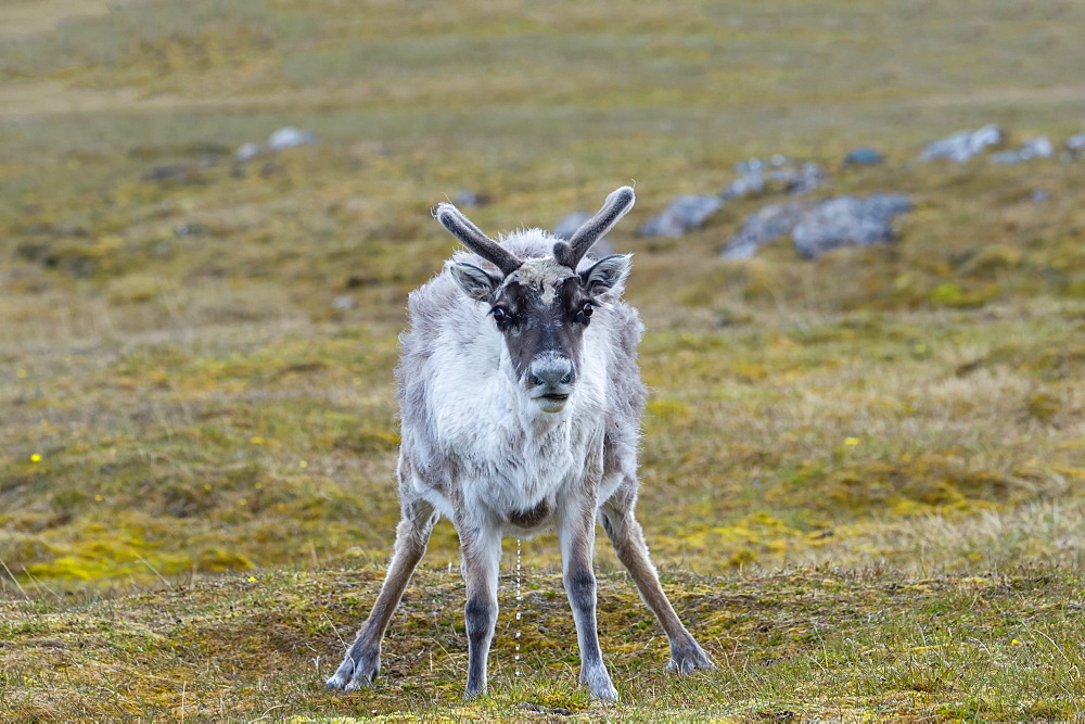 Svalbard Reindeer (Rangifer tarandus platyrhynchus) in the tundra, Spitsbergen Island, Svalbard archipelago, Arctic, Norway, Europe - 1131-1161