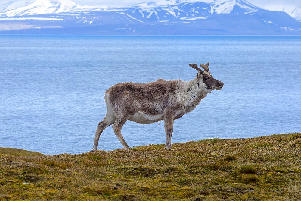 Svalbard Reindeer (Rangifer tarandus platyrhynchus) in the tundra, Spitsbergen Island, Svalbard archipelago, Arctic, Norway, Europe - 1131-1162
