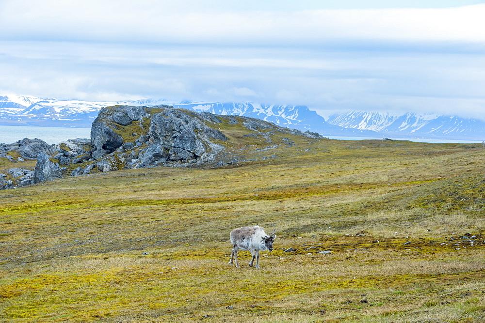 Svalbard Reindeer (Rangifer tarandus platyrhynchus) in the tundra, Spitsbergen Island, Svalbard archipelago, Arctic, Norway, Europe - 1131-1163