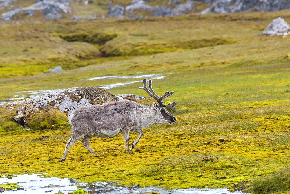 Svalbard Reindeer (Rangifer tarandus platyrhynchus) in the tundra, Spitsbergen Island, Svalbard archipelago, Arctic, Norway, Europe