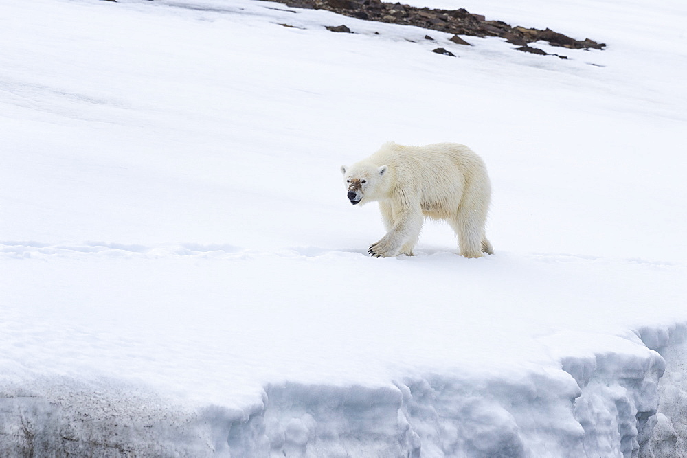 Female polar bear (Ursus maritimus) on a glacier, Bjornsundet, Hinlopen Strait, Spitsbergen Island, Svalbard Archipelago, Norway