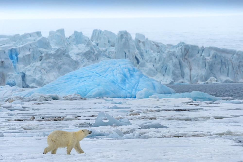 Female polar bear (Ursus maritimus) on pack ice , Bjornsundet, Hinlopen Strait, Spitsbergen Island, Svalbard Archipelago, Norway