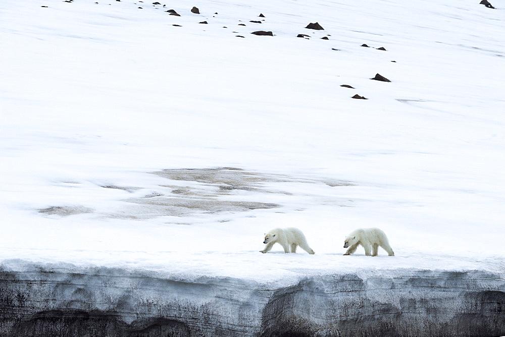 Yearling polar bear (Ursus maritimus) on a glacier, Bjornsundet, Hinlopen Strait, Spitsbergen Island,Svalbard Archipelago,Norway