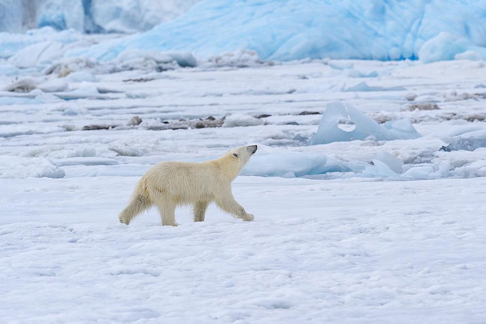 Female polar bear (Ursus maritimus) on pack ice, Bjornsundet, Hinlopen Strait, Spitsbergen Island, Svalbard Archipelago, Norway