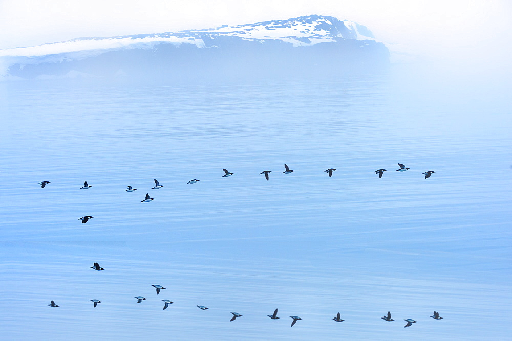 Flock of Thick-billed Murres (Uria lomvia) Flying over Hinlopen Strait, Spitsbergen Island, Svalbard Archipelago, Norway