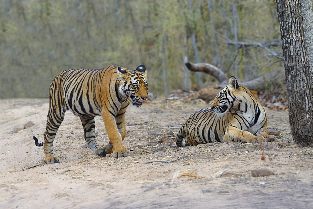 Two young Bengal tigers (Panthera tigris tigris) on a forest path, Bandhavgarh National Park, Madhya Pradesh, India, Asia - 1131-1307