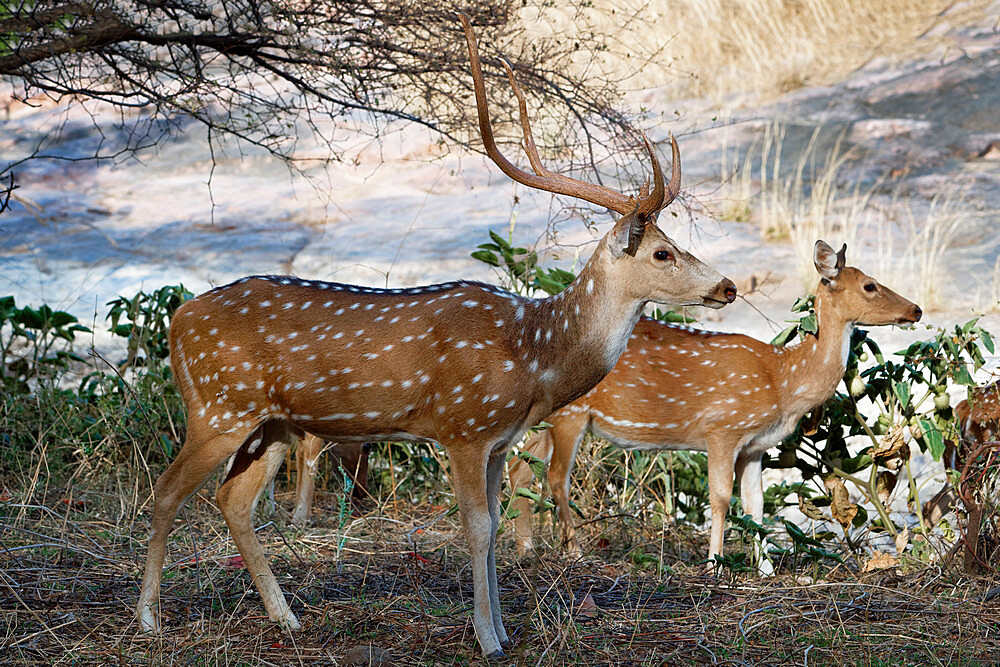Chital deer (Spotted deer) (Axis axis), Ranthambhore National Park, Rajasthan, India, Asia