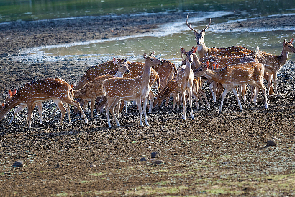 Group of Chital deer (Spotted deer) (Axis axis) drinking in a pond, Tadoba Andhari Tiger Reserve, Maharashtra state, India, Asia