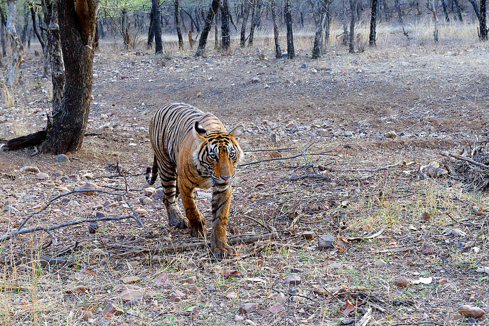 Female Bengal tiger (Panthera tigris tigris), Ranthambhore National Park, Rajasthan, India, Asia