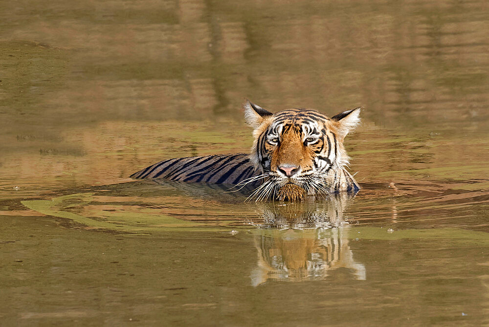 Female Bengal tiger (Panthera tigris tigris) refreshing in the water, Ranthambhore National Park, Rajasthan, India, Asia