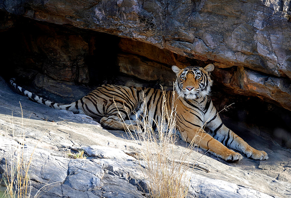 Female Bengal tiger (Panthera tigris tigris) resting under rocks, Ranthambhore National Park, Rajasthan, India, Asia