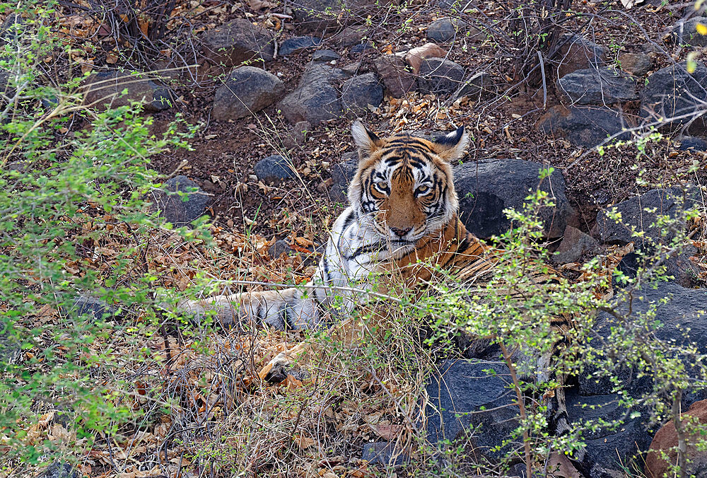 Female Bengal tiger (Panthera tigris tigris) resting on ground, Ranthambhore National Park, Rajasthan, India, Asia