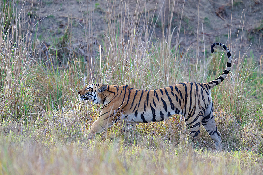 Young male Bengal tiger (Panthera tigris tigris) stretching, Ranthambhore National Park, Rajasthan, India, Asia