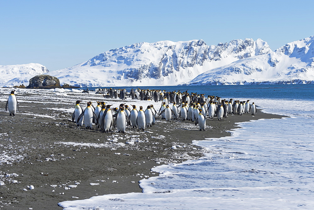 King Penguins (Aptenodytes patagonicus) preparing to enter the water, Salisbury Plain, South Georgia Island, Antarctic, Polar Regions