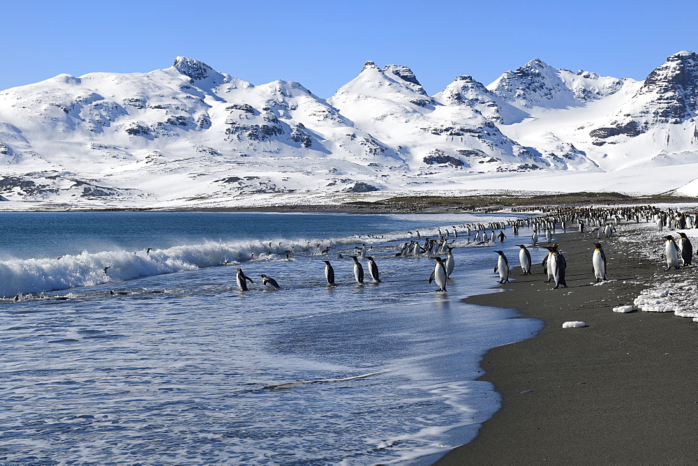 King Penguins (Aptenodytes patagonicus) coming in and out the ocean, Salisbury Plain, South Georgia Island, Antarctic, Polar Regions