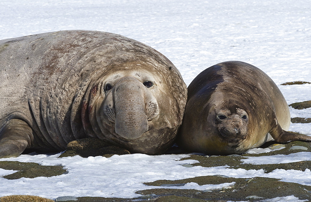 Male Southern Elephant seal (Mirounga leonina) with female on snow, Salisbury Plain, South Georgia Island, Antarctic, Polar Regions