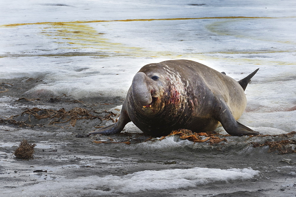 Male Southern Elephant Seal (Mirounga leonina), Fortuna Bay, South Georgia, South Georgia and the Sandwich Islands, Antarctica, Polar Regions