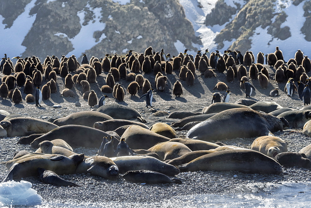 Gold Harbour packed with Southern Elephant Seals (Mirounga leonina) and King penguins (Aptenodytes patagonicus), South Georgia,
