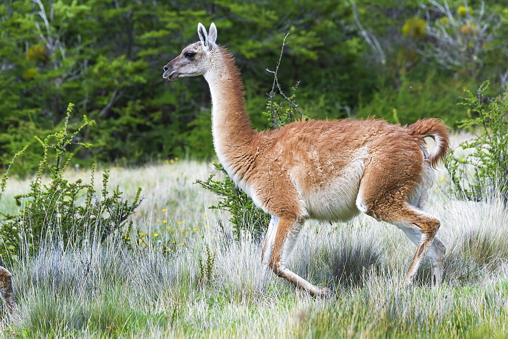 Running Guanaco (Lama guanicoe), Patagonia National Park, Chacabuco Valley, Aysen Region, Patagonia, Chile, South America
