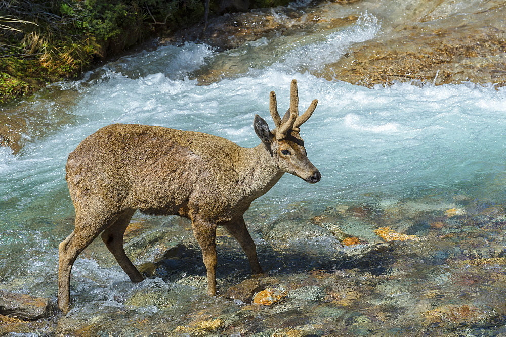 Male South Andean Deer (Hippocamelus bisulcus) crossing a river, Aysen Region, Patagonia, Chile, South America - 1131-1530