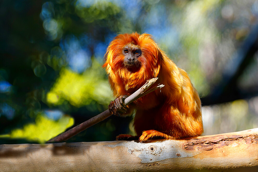 Golden Lion Tamarin (Leontopithecus rosalia), Brazilian Atlantic Coast Forest, Brazil - 1131-1619