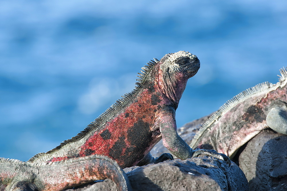 Marine Iguanas (Amblyrhynchus cristatus hassi), Hispanola Island, Galapagos, UNESCO World Heritage Site, Ecuador, South America