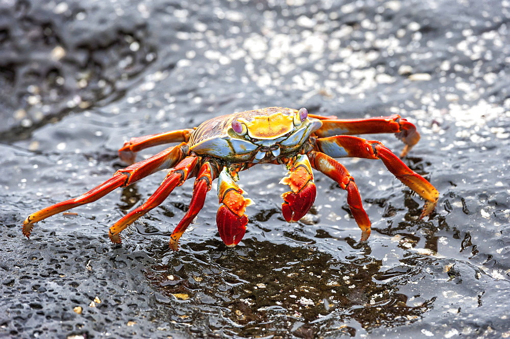 Sally Lightfoot crab (Grapsus grapsus), Galapagos, Ecuador, South America