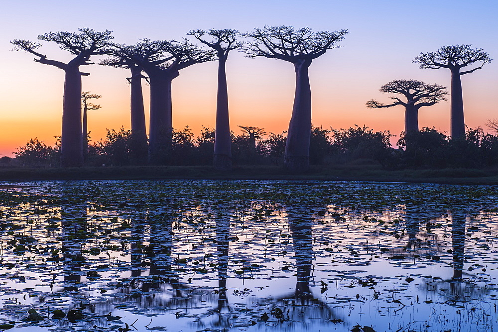 Baobab trees (Adansonia Grandidieri) reflecting in the water at sunset, Morondava, Toliara province, Madagascar, Africa