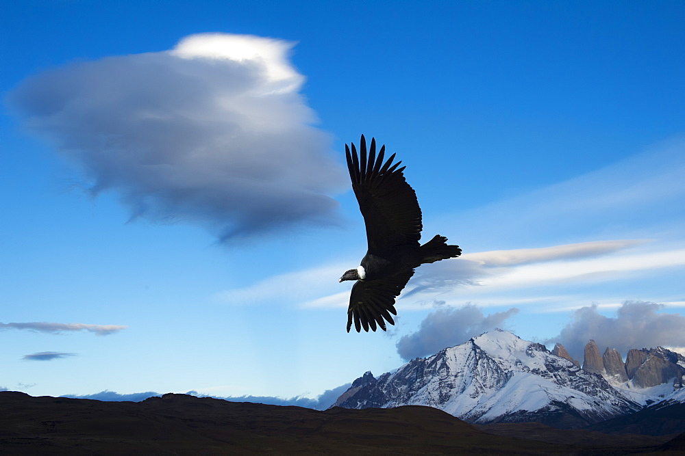 Andean condor (Vultur gryphus) flying over Torres del Paine National Park, Chilean Patagonia, Chile, South America