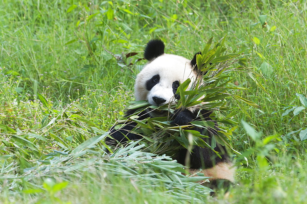 Adult giant panda (Ailuropoda melanoleuca) eating bamboo,  China Conservation and Research Centre, Chengdu, Sichuan, China, Asia