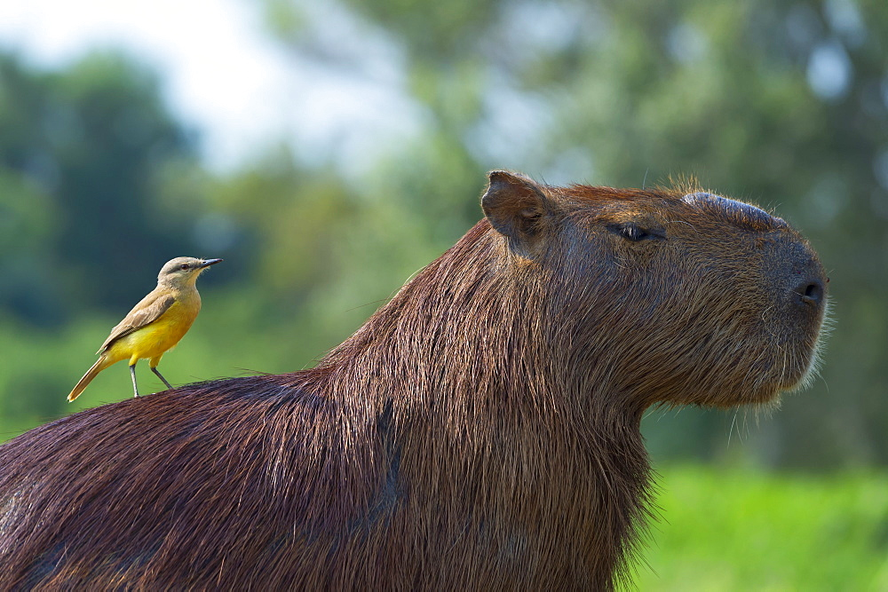 Capybara (Hydrochaeris hydrochaeris) and white-throated kingbird (Tyrannus albogularis) on the back, Pantanal, Mato Grosso, Brazil, South America - 1131-726