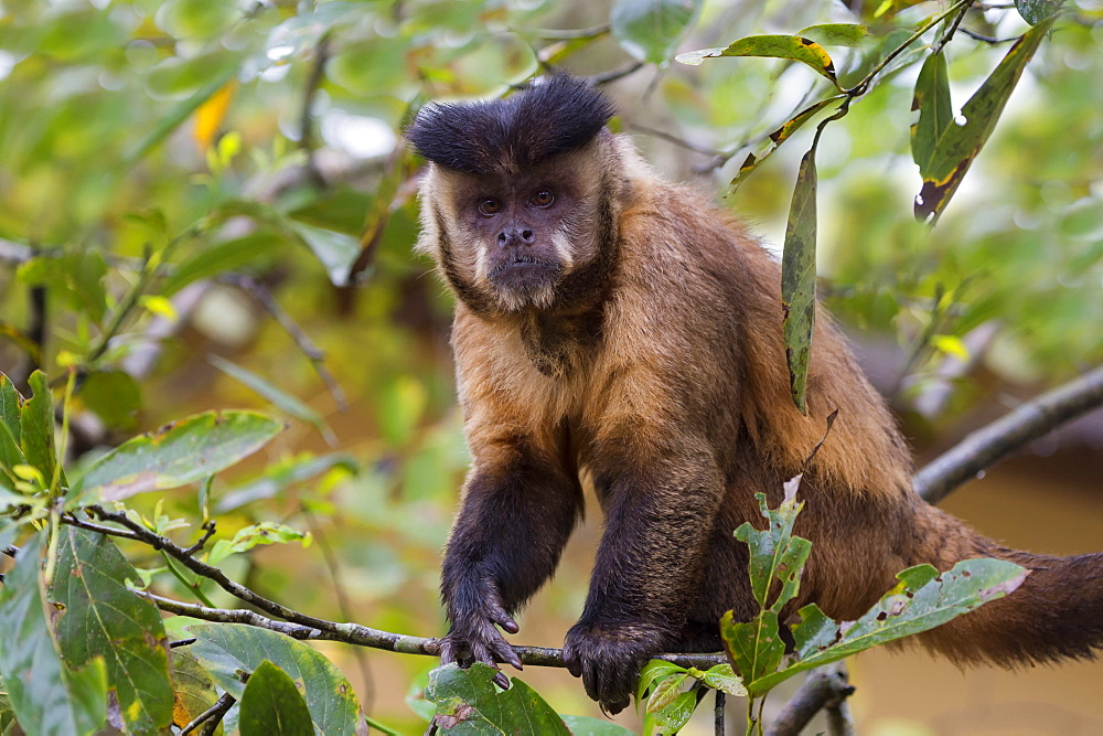 Male tufted capuchin (Cebus apella) (brown capuchin) (black-capped capuchin), Mato Grosso do Sul, Brazil, South America