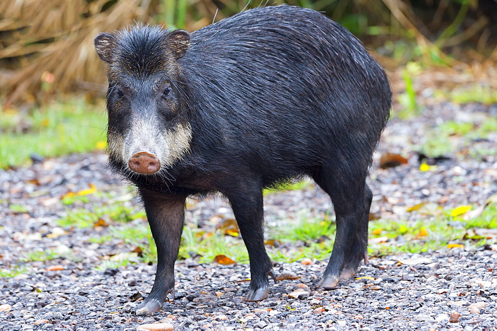 White-lipped peccary (Tayassu pecari), Mato Grosso do Sul, Brazil, South America