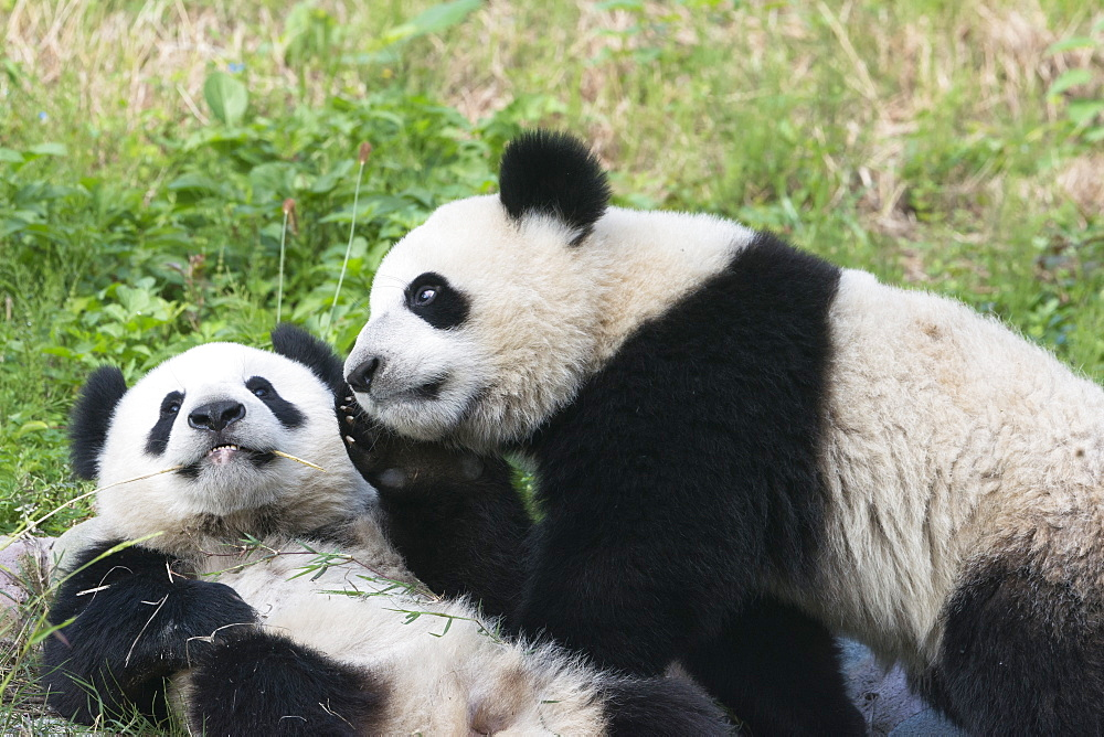 Two year old young giant Pandas (Ailuropoda melanoleuca), Chengdu, Sichuan, China, Asia