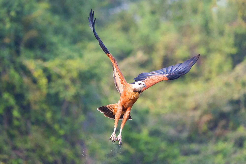 Black-collared hawk (Busarellus nigricollis) in flight, Pantanal, Mato Grosso, Brazil, South America