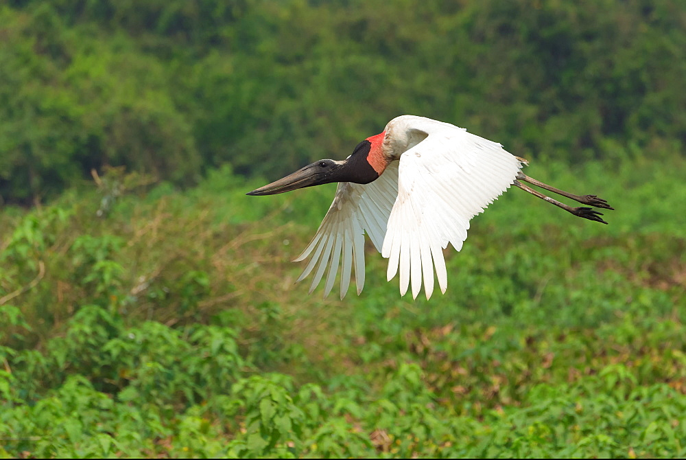 Jabiru (Jabiru mycteria) in flight, Pantanal, Mato Grosso, Brazil, South America