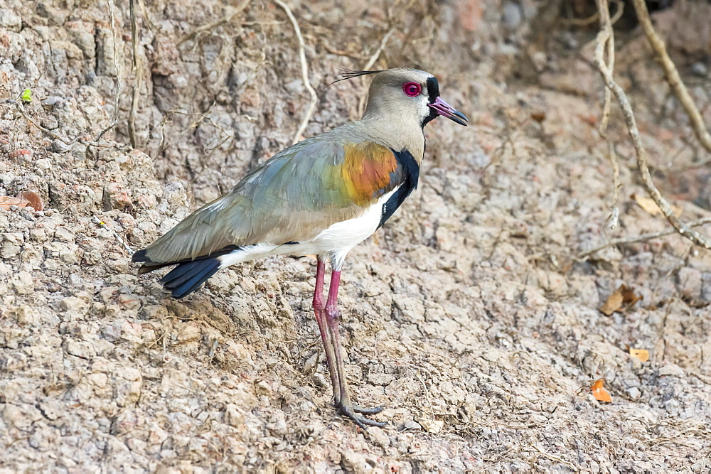 Southern lapwing (Vanellus chilensis), Pantanal, Mato Grosso, Brazil, South America