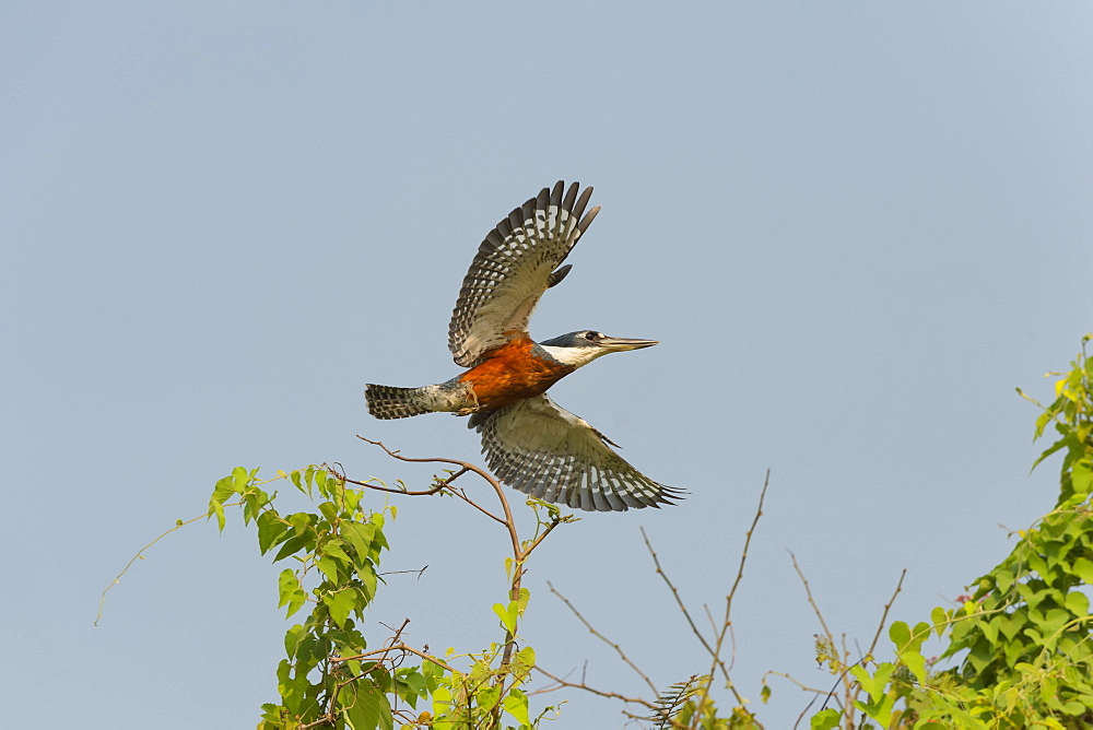 Ringed kingfisher (Ceryle torquata) in flight, Pantanal, Mato Grosso, Brazil, South America