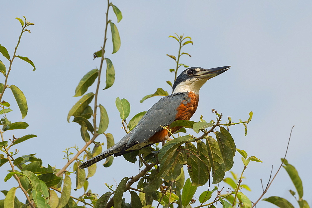 Ringed kingfisher (Ceryle torquata), Pantanal, Mato Grosso, Brazil, South America