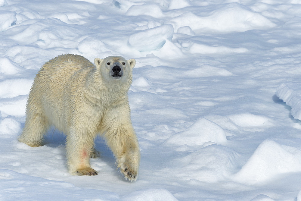 Male polar bear (Ursus maritimus) walking over pack ice, Spitsbergen Island, Svalbard archipelago, Arctic, Norway, Scandinavia, Europe