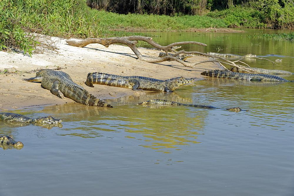 Yacare caiman (Caiman yacare), Pantanal, Mato Grosso, Brazil