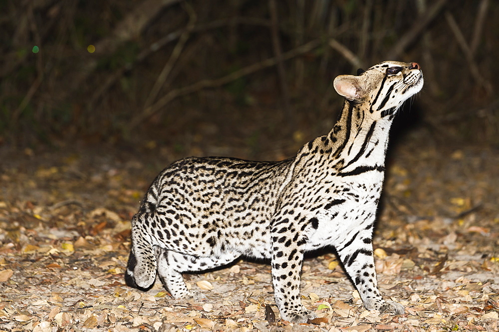 Ocelot (Leopardus pardalis) at night, Pantanal, Mato Grosso, Brazil, South America