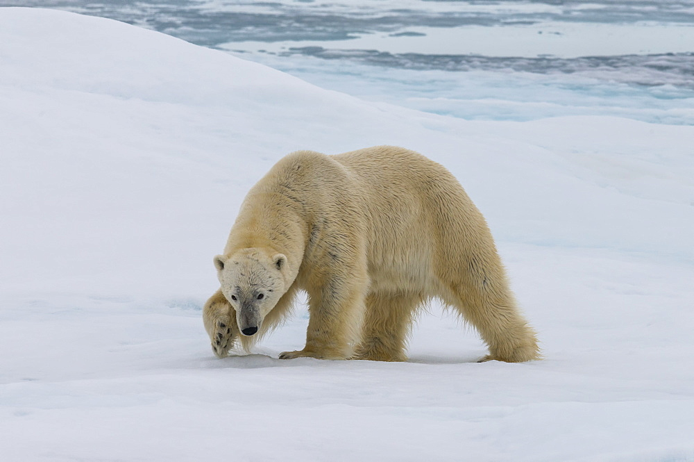 Male Polar bear (Ursus maritimus) walking on pack ice, Svalbard Archipelago, Barents Sea, Arctic, Norway, Scandinavia, Europe