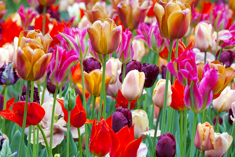 Close-up of tulips, Amsterdam, Netherlands, Europe