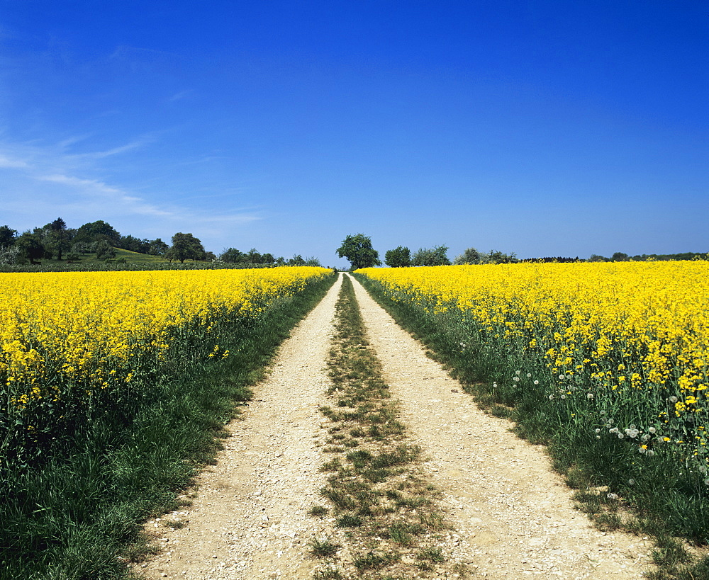 Path through a rape field, Swabian Alb, Baden Wurttemberg, Germany, Europe