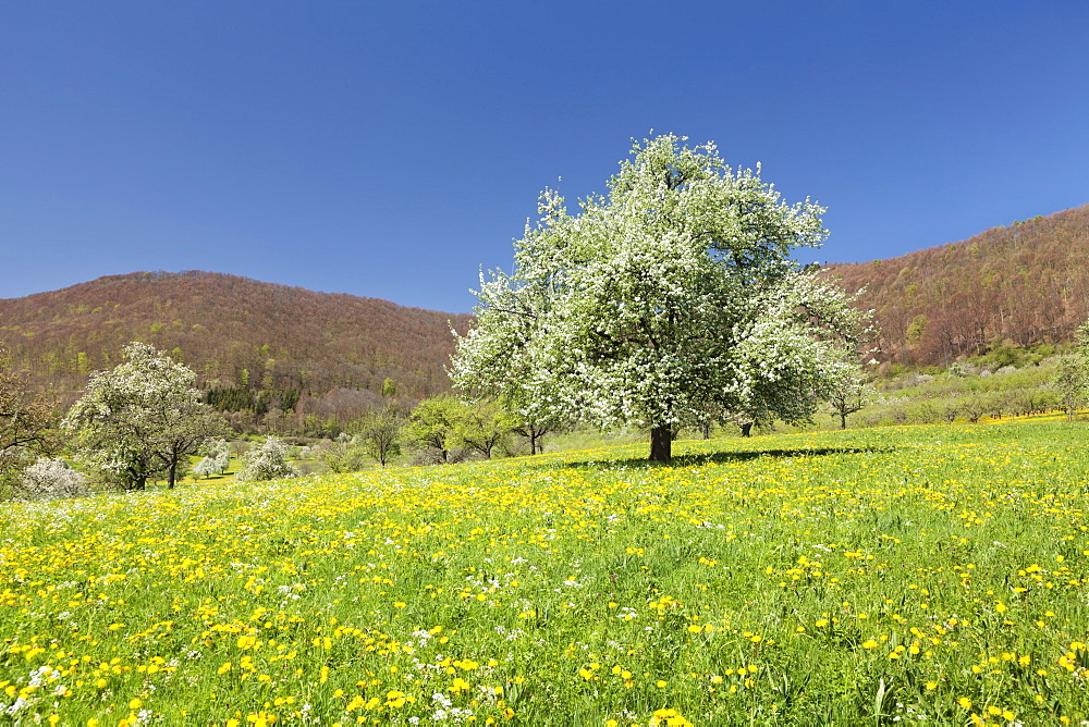 Blossoming cherry tree on a spring meadow, Neidlinger Tal Valley, Swabian Alb, Baden Wurttemberg, Germany, Europe