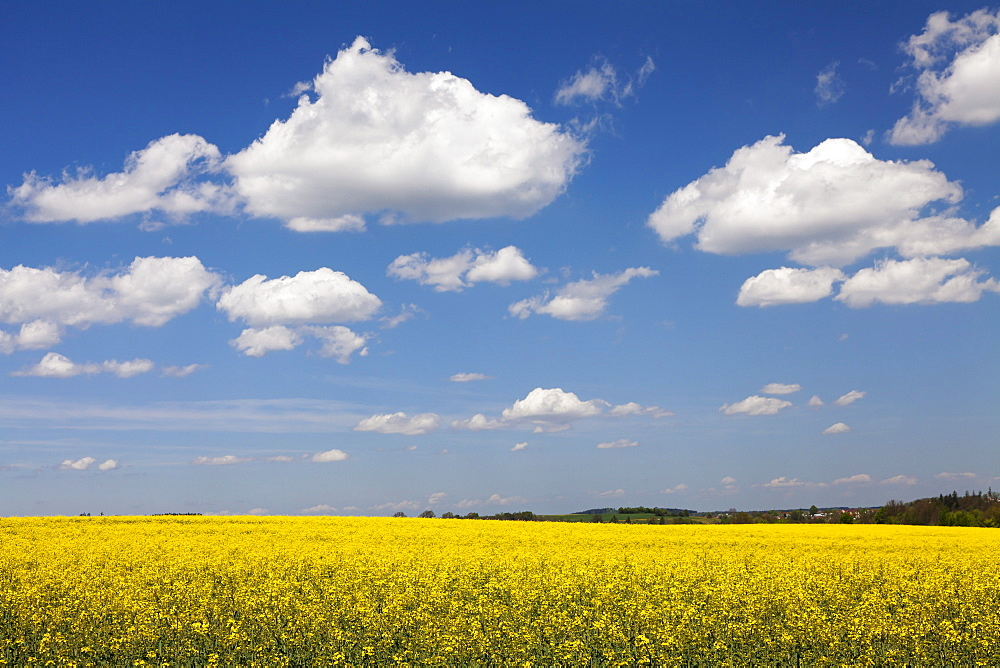 Cumulus clouds over a rape field, Swabian Alb, Baden Wurttemberg, Germany, Europe