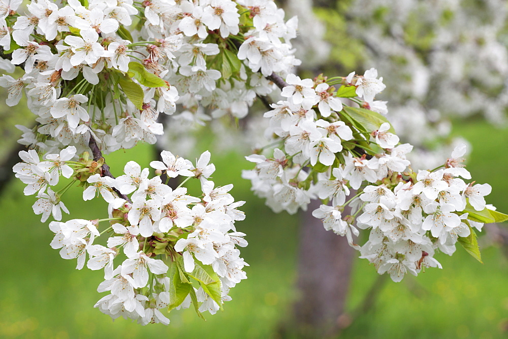 Blossoming cherry tree (Prunus avium), Baden Wurttemberg, Germany, Europe