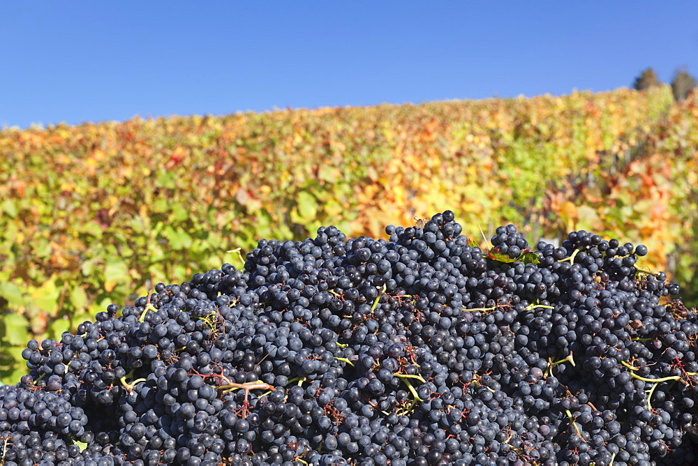Red wine grapes with colourful vineyards in autumn, grape harvest, Uhlbach, Stuttgart, Baden Wurttemberg, Germany, Europe