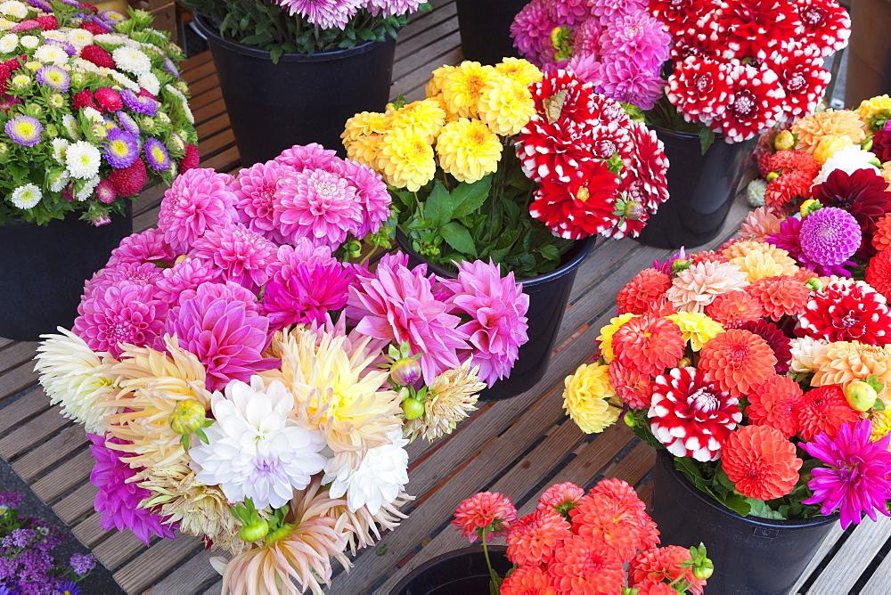 Dahlias among fresh flowers at a market stall, weekly market, market place, Esslingen, Baden Wurttemberg, Germany, Europe